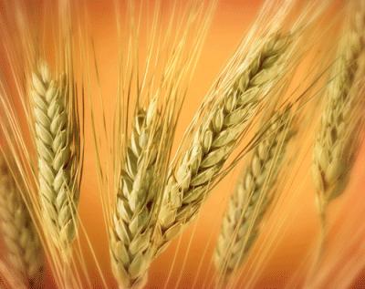 صورة تفسير احلام القمح