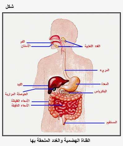 صورة تعريف ومكونات الجهاز الهضمي