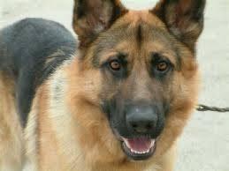 صورة كلاب حراسة للبيع مصر