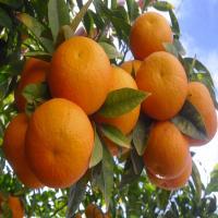 بالصور تفسير رؤيا البرتقال
