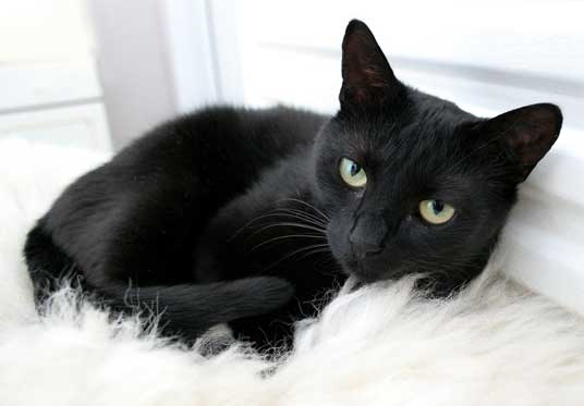 صورة تفسير الاحلام قطة سوداء