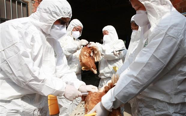 صور اعراض انفلونزا الطيور