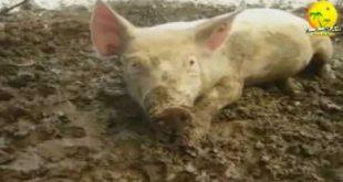 صورة لماذا حرم لحم الخنزير علميا