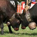 بالصور مصارعة البقر