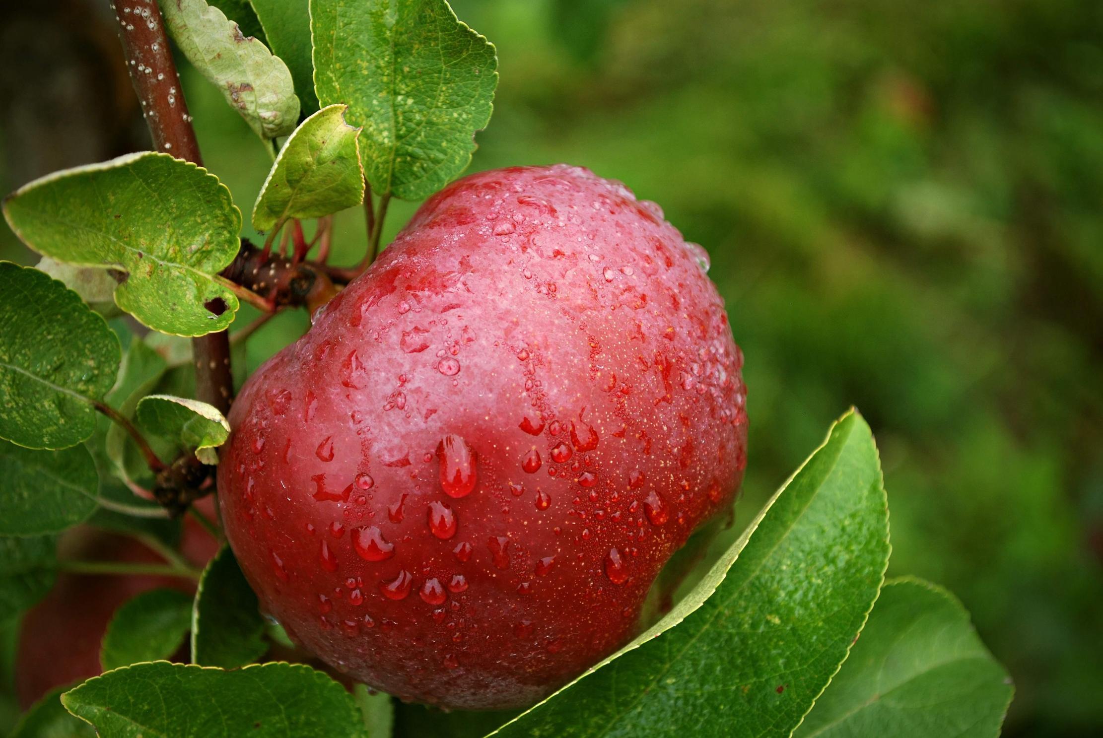 صور قصة التفاحة