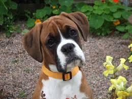 صورة الكلاب البوكسر