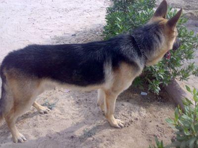 كلب بوليسي للبيع - صباح الخير