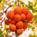 بالصور تفسير الاحلام شجرة البرتقال