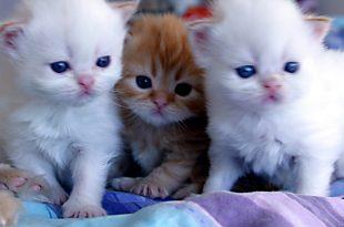 صورة القطط الصغيرة