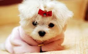 صورة اسماء كلاب لولو جديدة