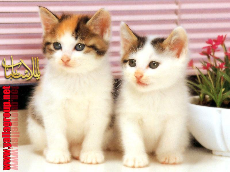 صور صور اجمل القطط