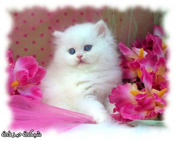 بالصور صور اجمل القطط