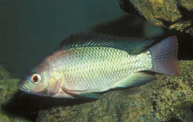 صورة تفسير رؤيا السمك المقلي