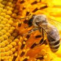 بالصور تفسير رؤية النحل في المنام