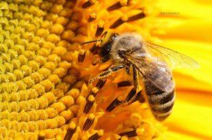 صورة تفسير رؤية النحل في المنام