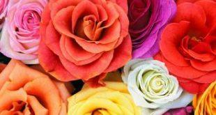 صورة اجمل الورود في العالم