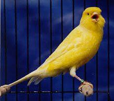 صورة زقزقة العصافير كناري