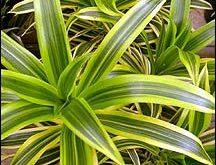صورة صور نبات الظل