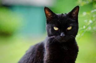 صورة قطة سوداء في الحلم