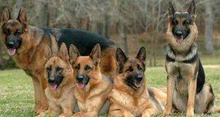 بالصور الكلاب الشرسة 20160817 5738 1 310x165