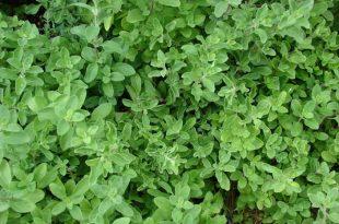 صورة اعشاب تنظم الهرمونات