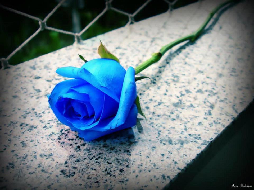 صورة صورة ورده جميلة