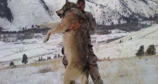 صور اكبر ذئب في العالم