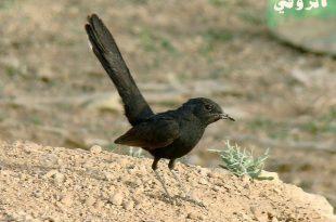 صورة تفسير حلم الطيور السوداء