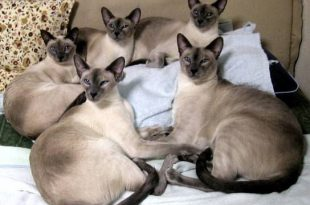 صور قطط سيامي