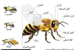 صورة بحث عن الحشرات النافعة النحل
