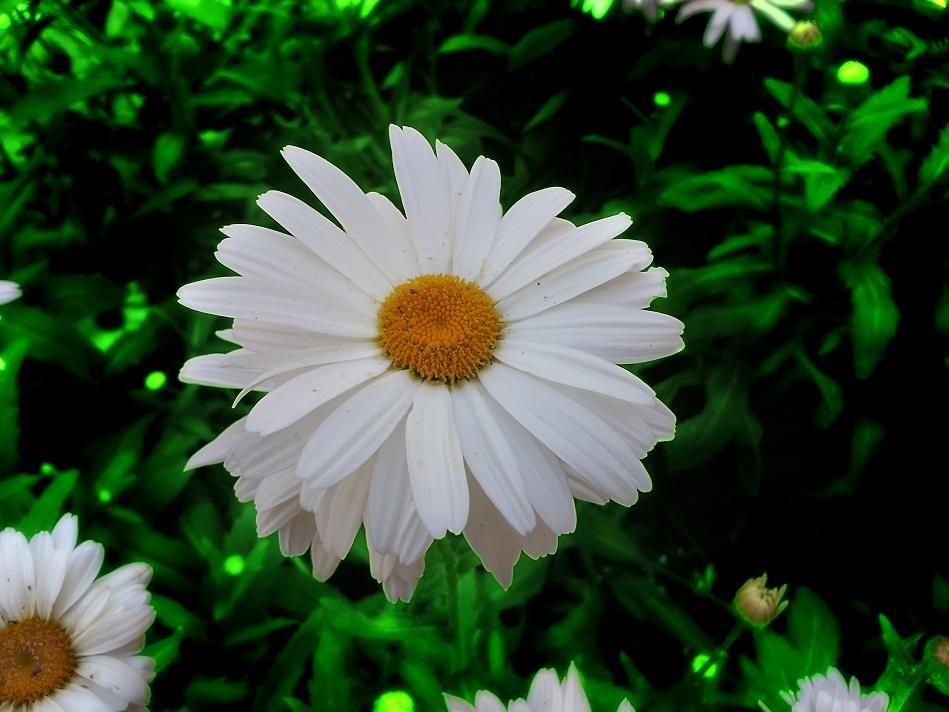 صور زهرة الاقحوان