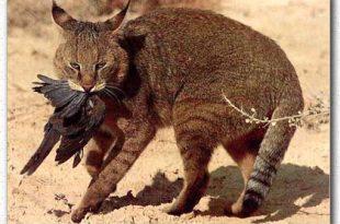 صورة صور قطط مفترسة