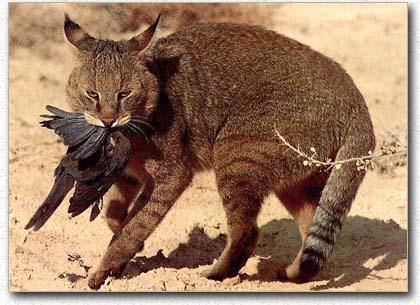 صور صور قطط مفترسة