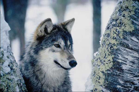 بالصور تفسير رؤية الذئب في المنام 20160819 2320