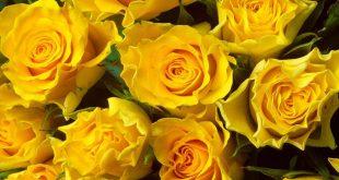 اجمل الزهار زهره جميله
