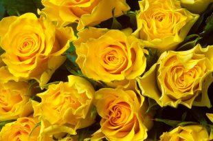 صورة اجمل الزهار زهره جميله
