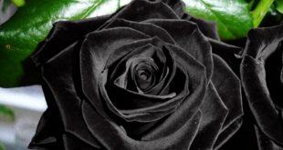 وردة سوداء