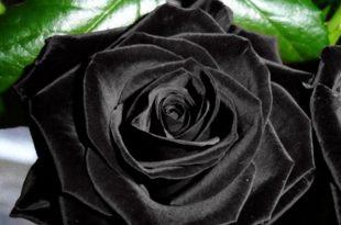 صورة وردة سوداء
