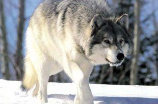 صورة هل الجن يخاف من الذئب
