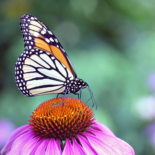 صورة فراشات جميلة