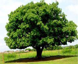 صورة الشجرة في المنام
