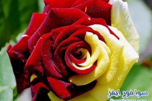 صور صور الورد الملون