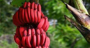 صورة الموز الاحمر