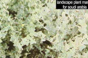 صورة نبات القطف وفوائده
