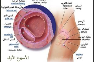 صورة تطور الحمل