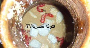 صورة المش المصري