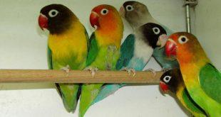 صور طيور الحب الفيشر