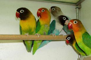 صورة طيور الحب الفيشر