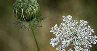 صورة منع الحمل بالاعشاب