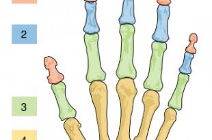 صورة كم يبلغ عدد فقرات اصابع اليد الواحدة